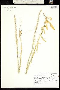 Image of Thelypodium crispum