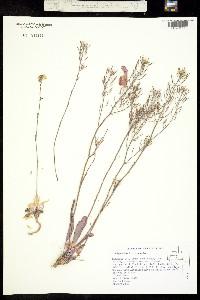 Image of Thelypodium flexuosum