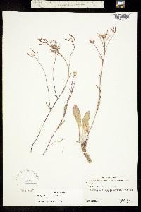 Thelypodium flexuosum image