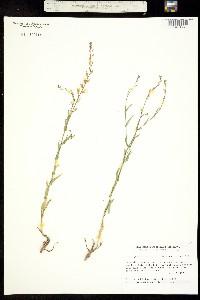 Thelypodium howellii image