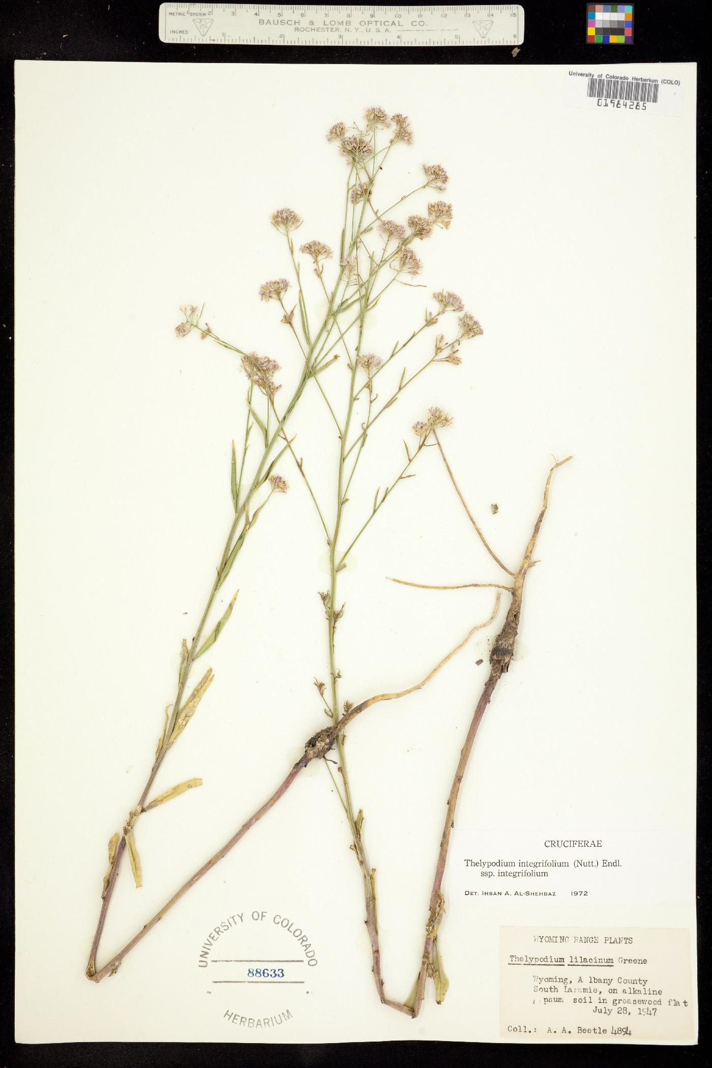 Thelypodium integrifolium ssp. integrifolium image