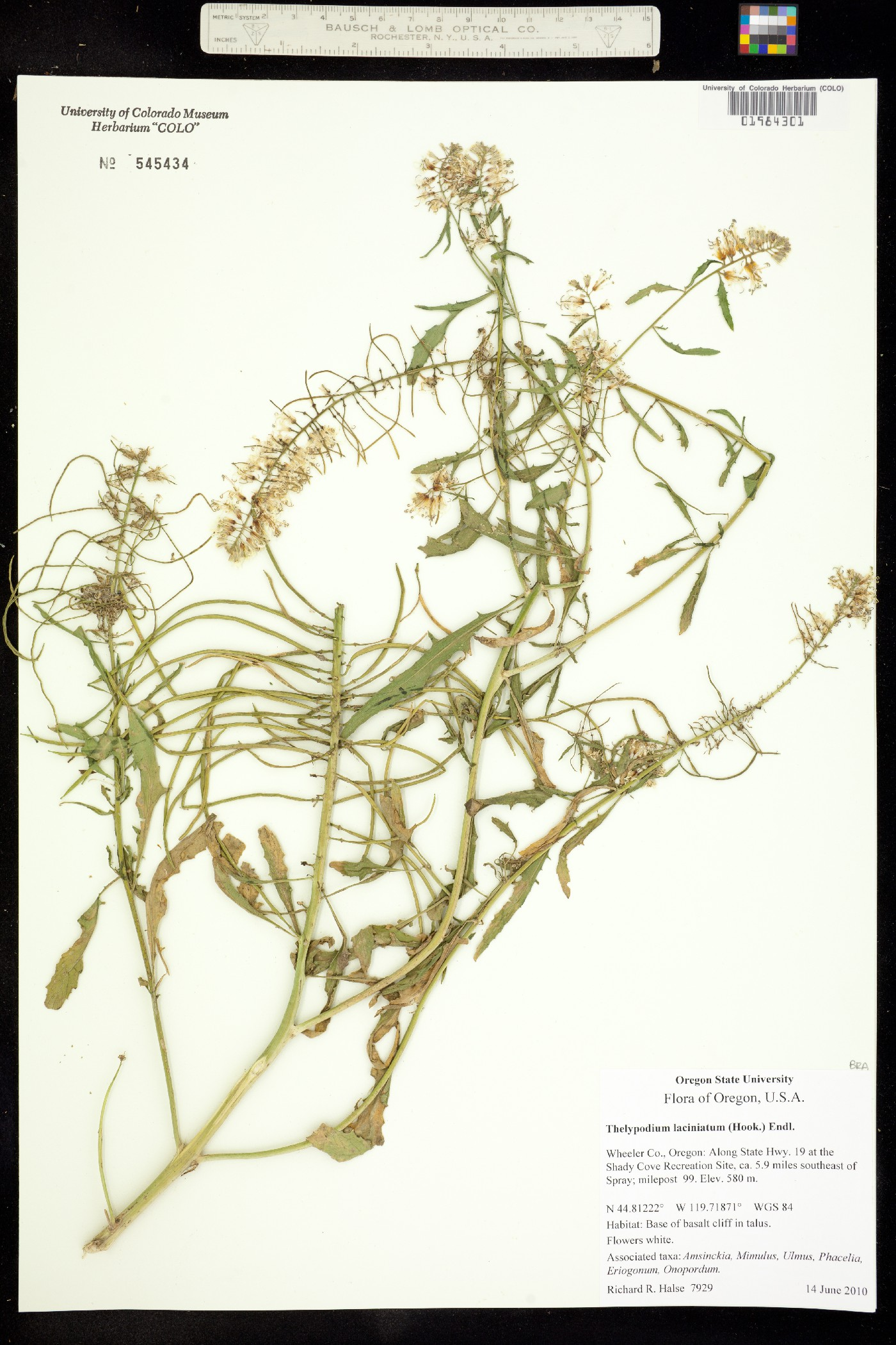 Thelypodium laciniatum image