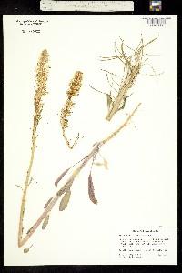 Thelypodium milleflorum image