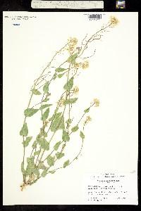 Thelypodium sagittatum image