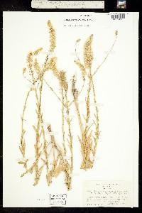 Image of Thelypodium brachycarpum