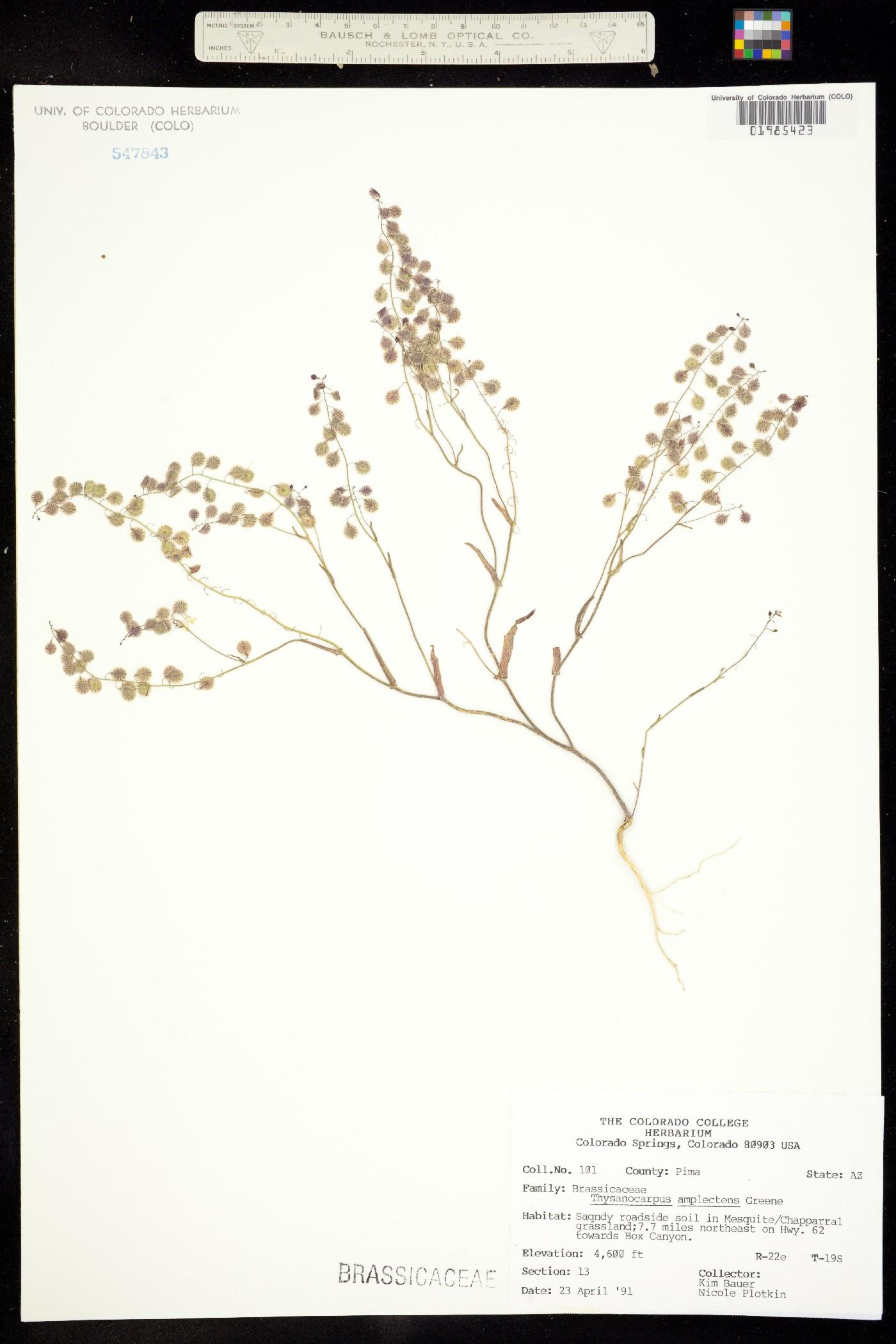 Thysanocarpus amplectens image