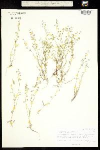 Image of Thysanocarpus laciniatus