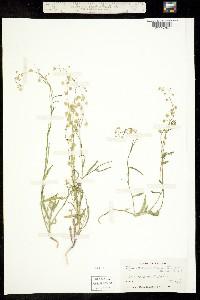 Thysanocarpus laciniatus image