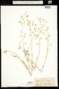 Image of Thysanocarpus radians