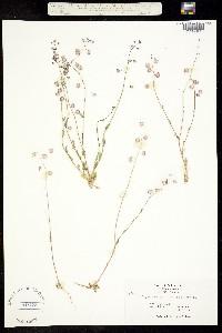 Thysanocarpus radians image