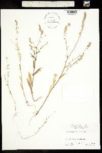 Image of Thysanocarpus erectus