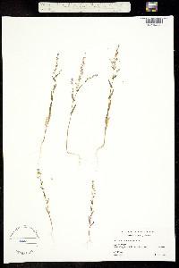 Thysanocarpus erectus image