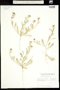 Image of Tropidocarpum gracile