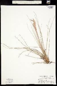 Image of Tillandsia simulata