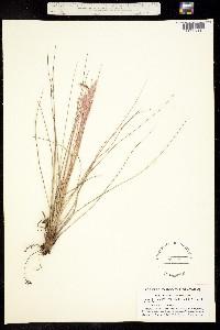 Tillandsia simulata image