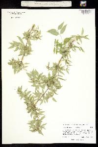 Bursera fagaroides image