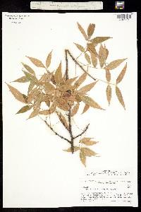 Bursera lancifolia image