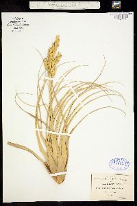 Image of Tillandsia polystachia
