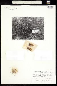 Image of Coryphantha pallida