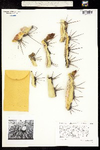 Image of Ferocactus alamosanus