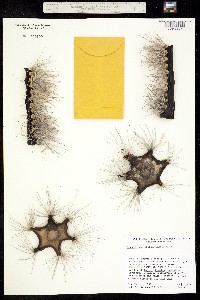 Image of Cereus schottii