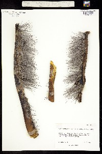 Pachycereus schottii image