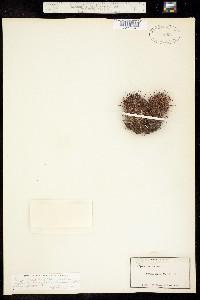 Mammillaria swinglei image