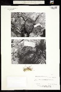 Image of Mammillaria carnea