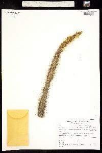 Morangaya pensilis image