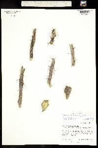Cylindropuntia thurberi image