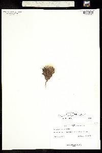 Image of Pediocactus paradinei