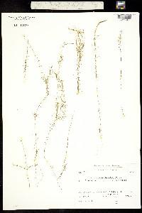 Callitriche hamulata image