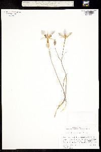 Calochortus bruneaunis image
