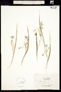 Calochortus tolmiei image