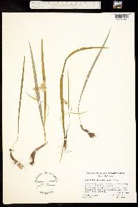 Calochortus coeruleus image