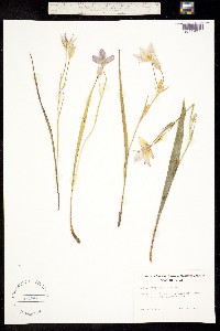 Calochortus lyallii image