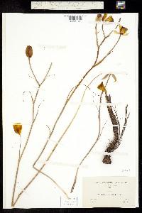 Calochortus weedii image