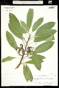 Clermontia clermontioides image