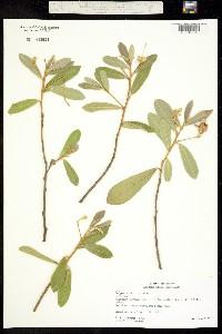 Image of Quadrella indica
