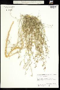 Carsonia sparsifolia image