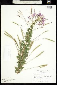 Image of Cleome arborea