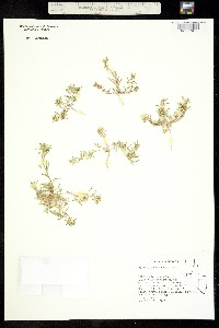 Image of Cleomella brevipes