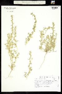 Cleomella brevipes image