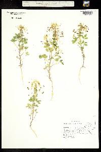 Cleomella hillmanii image