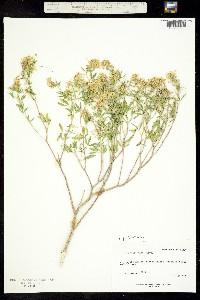 Image of Cleomella palmeriana