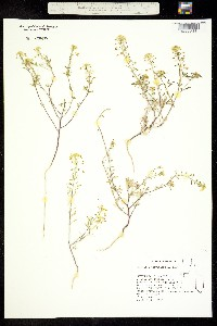 Cleomella parviflora image