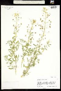Image of Cleomella longipes