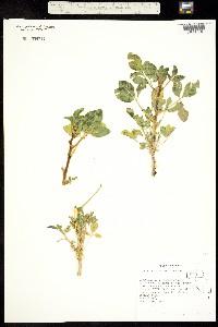 Oxystylis lutea image