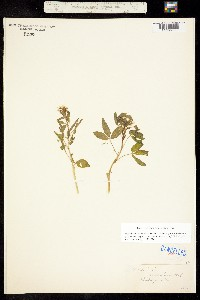 Polanisia dodecandra ssp. dodecandra image
