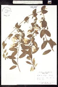 Image of Lonicera japonica